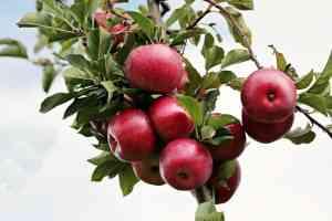 עצי פרי לגינה