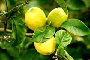 עץ לימון