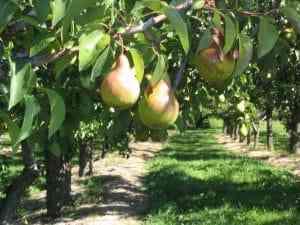 עצי פרי לגינה אגס