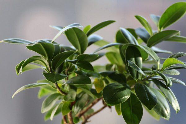 עץ נוי