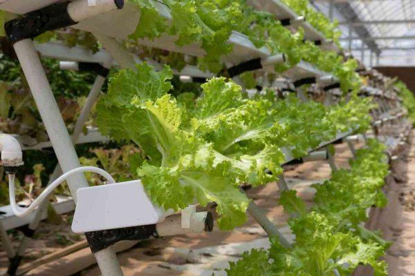 חקלאות הידרופונית